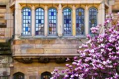 Universität von Yales-Magnolie-Windows-Reflexion Stockfotos