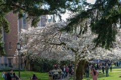 Universitet av Washington Cherry Blossom besökare royaltyfri fotografi