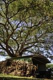 universitetar för jakarandaquadranglesydney tree Arkivfoton