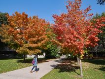 University campus with fall colors. University campus with student walking among the fall colors, University of Toronto royalty free stock images