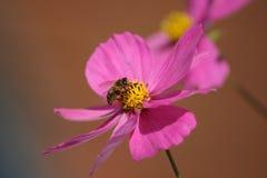 Universo di Cosmea con l'ape Fotografie Stock Libere da Diritti
