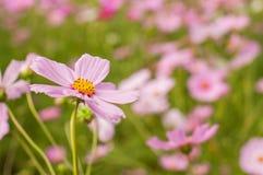 Universo, fiori messicani dell'aster Fotografie Stock