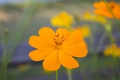 Universo giallo dei bei fiori in giardino Può essere usato come fondo fotografia stock libera da diritti