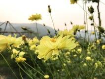 Universo giallo dello zolfo nel giardino fotografie stock