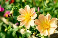 Universo messicano del giardino o dell'aster dalia Il cosmos bipinnatus, è un sole di medie dimensioni che ama il nativo della pi immagini stock libere da diritti