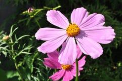 Universo rosa Fotografia Stock Libera da Diritti