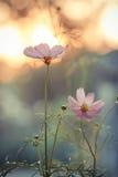Universo rosa d'annata sul campo nel tramonto fotografia stock libera da diritti