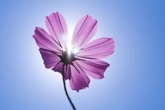 Universo rosa sotto sole e cielo blu Immagini Stock
