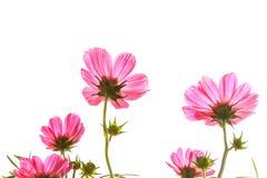Universo rosa su fondo isolato Immagine Stock