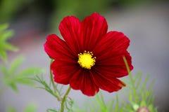 Universo rosso che fiorisce nell'estate Immagini Stock Libere da Diritti