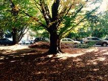 Uniwersytecki drzewo Obraz Royalty Free
