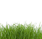 Unkempt Grass. Some unmown green grass on a white background stock photos
