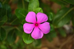 Catharanthus roseus, commonly known as the Madagascar periwinkle, rose periwinkle, or rosy periwinkle stock image