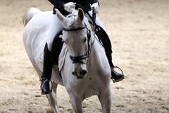 Unknown contestant rides at dressage horse event indoor in ridin. Portrait close up of dressage sport horse with unknown rider.Sport horse portrait during Royalty Free Stock Image