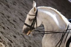 Portrait close up of dressage sport horse with unknown rider Stock Images