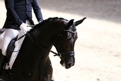 Portrait close up of dressage sport horse with unknown rider. Unknown contestant rides at dressage horse event in riding ground. Head shot closeup of a dressage stock images
