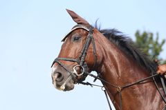 Head shot close up of a beautiful young sport horse during competition. Unknown contestant rides at dressage horse event in riding ground outdoor. Headshot close royalty free stock photography