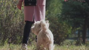 Unknown girl playing with a dog. A dog of medium size. Slowmotion: West highland white terrier. Unknown girl playing with a dog. A dog of medium size. dog owner stock video footage