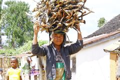 Unknown malagasy people carrying branches on heads - poverty. ANTSIRABE, MADAGASCAR, SEPTEMBER 2014, Unknown malagasy people carrying branches on heads - poverty Stock Image