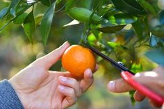 Mandarins pickup in the orchard Royalty Free Stock Photo