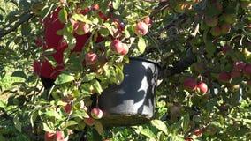 Unknown pick fresh apple fruit from branch. Work in garden. 4K stock video footage