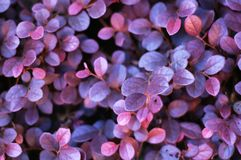 Unknown purple leaves Stock Photos