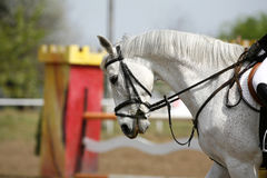 Unknown rider sit on a beautiful grey colored sporting horse. Closeup of show jumping horse during competition riding between obstacles Stock Photo