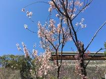 Unkraut blauen Himmels Kirschblütes Stockbild