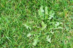 Unkraut in einer Rasenfläche Lizenzfreies Stockbild
