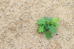 Unkräuter, die auf dem Sand wachsen Stockfotos