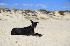 Unleashed black dog with his ears flapping in the wind. Large friendly-looking unleashed black dog with his ears flapping in the wind while lying down at a beach Royalty Free Stock Image
