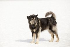 Unleashed long-haired tricolour German Shepherd standing alert stock image