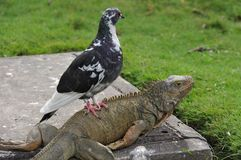 An Unlikely Animal Pairing. A large lizard and bird prove that friendship can be blind. They stare into the distance while looking content, the lizard serving as royalty free stock photos