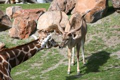 Unlikely Friends. A giraffe and an antelope together as unlikely friends Stock Photos