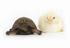Unlikely pair - turtle and baby chicks Royalty Free Stock Photo
