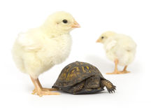 Unlikely pair - turtle and baby chicks Royalty Free Stock Photography