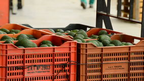 Unloading boxes of avocado, industry frui stock video