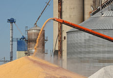 Unloading Corn. From an auger into a pile Royalty Free Stock Photo