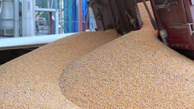 Unloading Corn into the Grain Silo. Corn Unloading into the Grain Elevator stock video footage