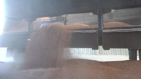 Unloading corn grain from a truck trailer and a lot of dust in the factory. Agriculture and Resource Concept