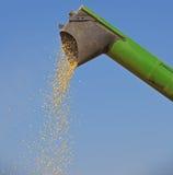 Unloading corn maize seeds. Combine harvester pours corn maize seeds Stock Images