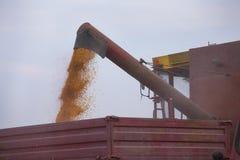 Unloading corn seeds. Combine harvester unloads corn maize seeds into tractor trailer Stock Photos