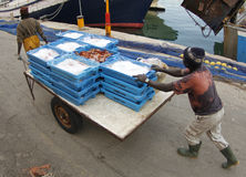 Unloading fish cargo Stock Images