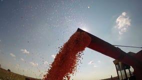 Unloading Freshly Harvested Maize Grains stock video