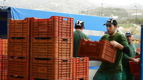 Unloading manually boxes of avocado. Avocado hass in line industrial of packaging stock footage