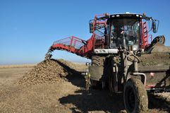 Unloading the roots of sugar beet from the hopper of the combine. Chortkiv - Ternopil - Ukraine - October 18, 2017. In the Agrofirma `Nichlava` from the hopper stock photography
