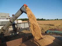 Unloading the wheat. Auger unloading harvested wheat grains Royalty Free Stock Photo