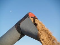 Unloading the wheat. Auger unloading harvested wheat grains Royalty Free Stock Image