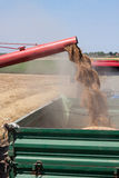 Unloading Wheat. Combine harvester unloads what into tracktor trailer Stock Photo