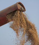Unloading Wheat. Harvester unloads wheat gains in to tractor trailer Royalty Free Stock Image